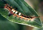ヒメシロモンドクガ幼虫s.jpg