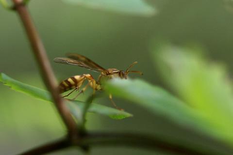ホソアシナガバチs.jpg