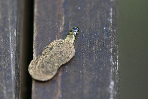 マダラマルハヒロズコガ幼虫7283cs.jpg