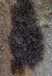 ヨコヅナサシガメ幼虫s.jpg