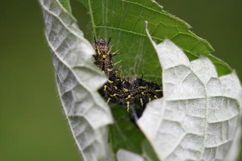 アカタテハ幼虫(カラムシ)4690s.jpg