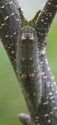 アカボシゴマダラ越冬幼虫たてs8678.jpg