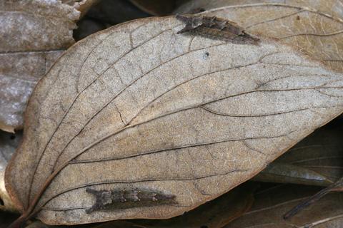 オオムラサキ越冬幼虫×26963s.jpg