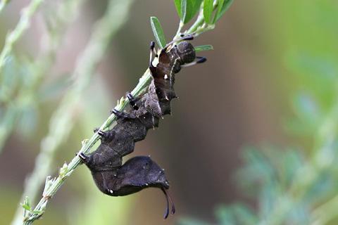 シャチホコガ幼虫4426s.jpg